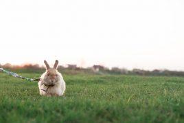 Использовании шлейки для кролика