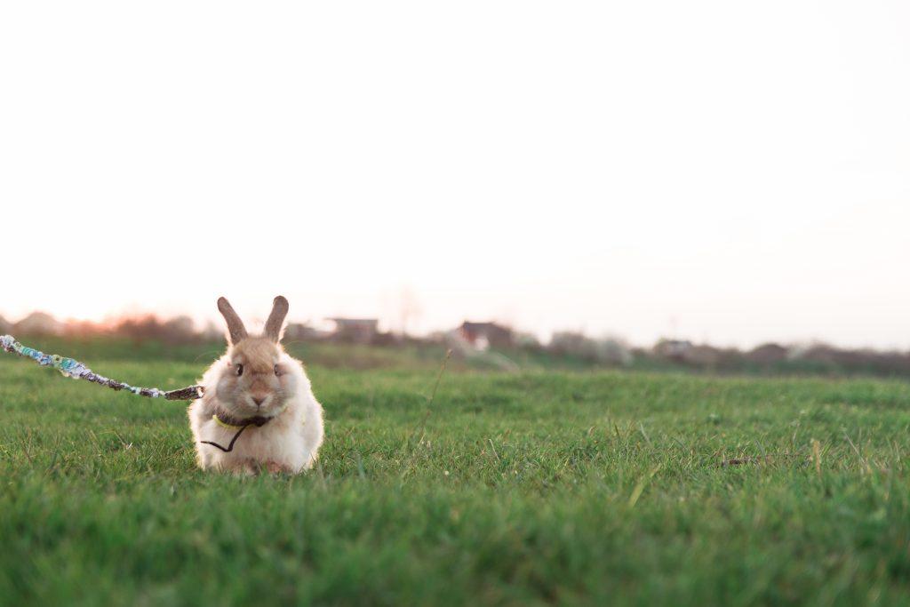 Шлейка - незаменимый аксессуар для прогулки кролика