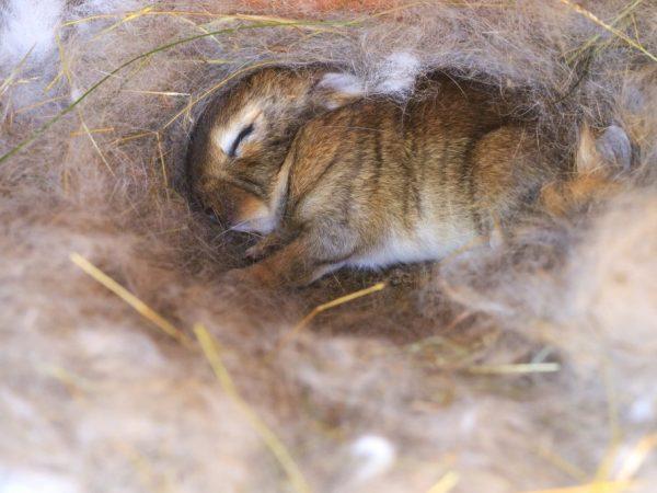 Почему крольчиха рвт пух