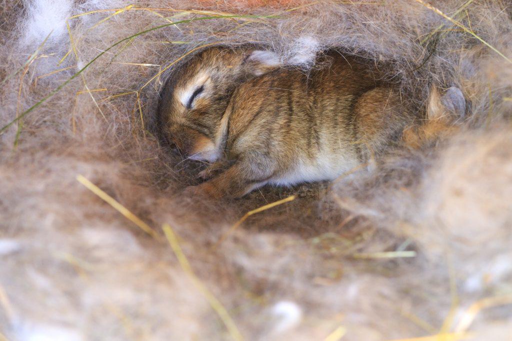 Сколько крольчат рожает крольчиха за один раз, как делает гнездо, почему рвет пух, а также подготовка и уход после родов