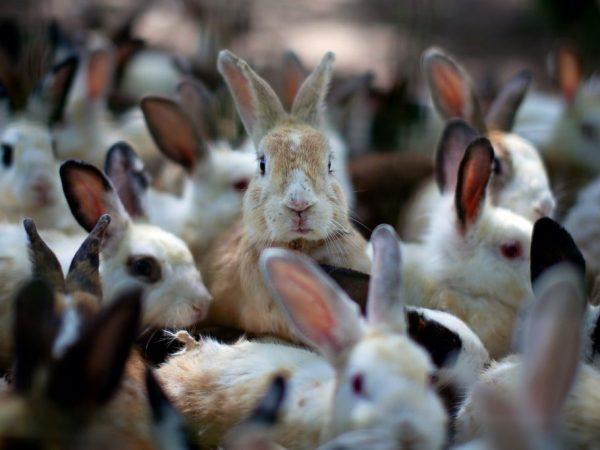 Когда крольчиха ожидает потомство, она становится тихой и осторожной либо беспокойной и застенчивой – все зависит от темперамента самочки