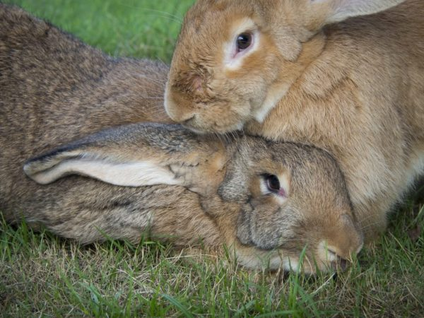 Почему крольчиха не хочет спариваться