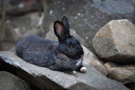 Черно-бурая порода кроликов