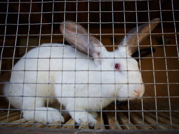Правила выращивания кроликов