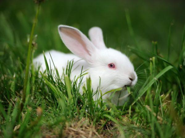 Описание кроликов породы Хиколь