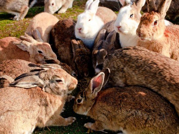 Особенности разведения кроликов