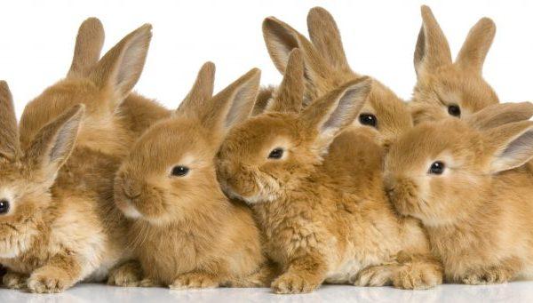Как проходит окрол крольчихи