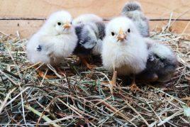 Изготовление цыплячьего брудера