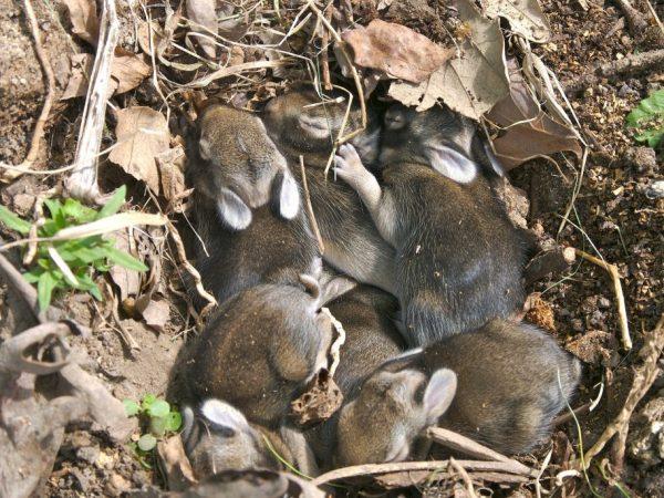 Причины разбрасывания крольчат самкой после окрола