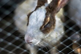 Гниение глаз у кролика