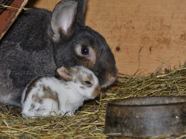 Учитывая особенности нервной системы кроликов, важно обеспечить комфортные условия на время родов — тишину, покой, отсутствие освещения