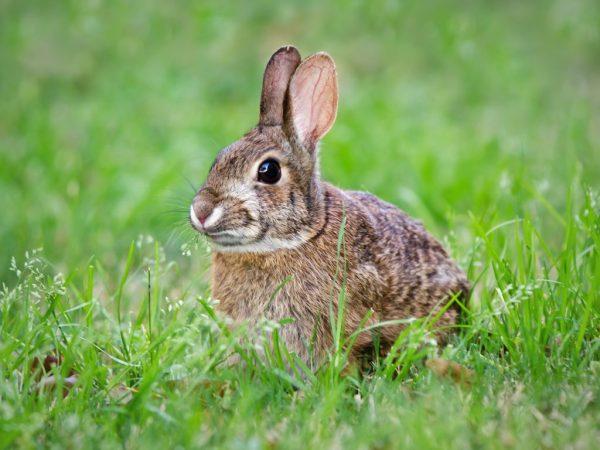 В случае опасности зайцы проявляют агрессивность и оказывают сопротивление нападающему