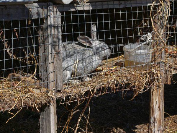 На половую активность кроликов влияют условия их содержания и подходящая температура воздуха