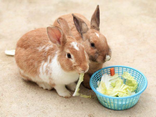 Чтобы плод полноценно развивался, крольчиху нужно обеспечить специальным диетическим питанием