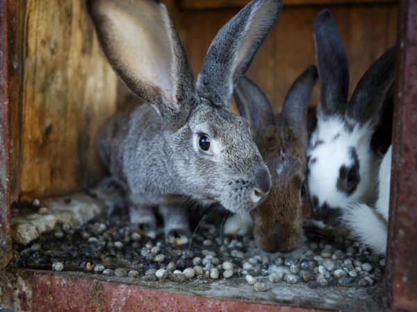 Кроликам надо оборудовать отдельное помещение, в котором не будет сквозняков и влажности, а клетки будут достаточных размеров