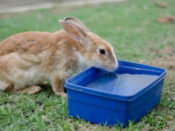 Вода является составной частью организма животного. Недостаток воды кролики переносят гораздо труднее, чем голодание