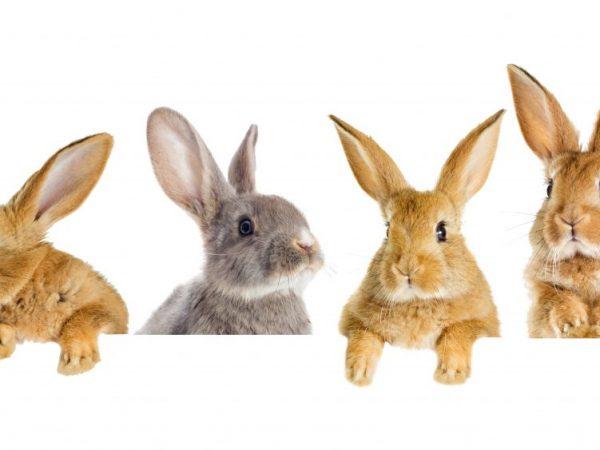 Мясо кролика достаточно дорогой продукт. Поэтому перед тем, как начать выращивать кроликов для бизнеса, нужно изучит потребительский спрос