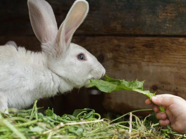 Можно вызвать агрессию у кроликов, если нарушить их территориальное пространство