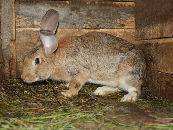 Кролики рожают в ночное или утреннее время. Роды крольчихи занимают всего 20–60 минут