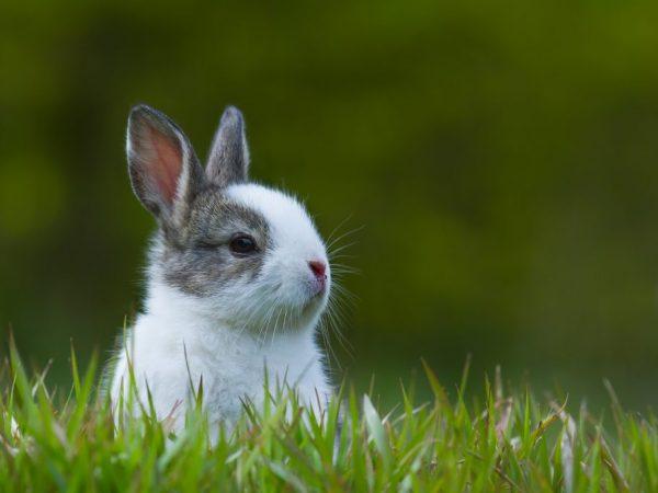 Спутать Голландского кролика с другой породой трудно, его выдаёт специфическая окраска и отчётливый белый клин, проходящий через середину носа