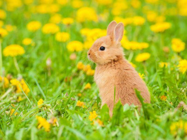 Самым хорошим выбором станет такая съедобная трава для кроликов как Мать-и-мачеха, люцерна, клевер, горошек мышиный, пырей