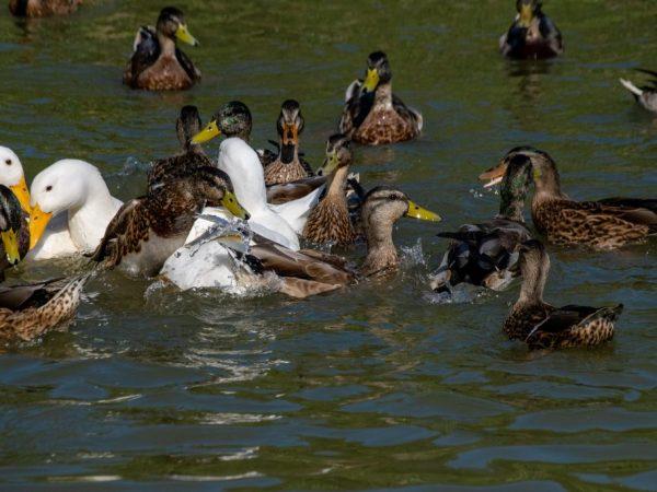 Утки могут гоготать и издавать громкий и резкий крик — кряканье, а селезни в основном шипят и издают свист