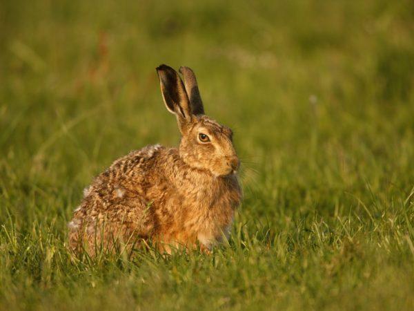 Самый крупный представитель зайцеобразных имеет коричневый мех. Мех блестит, немного завивается