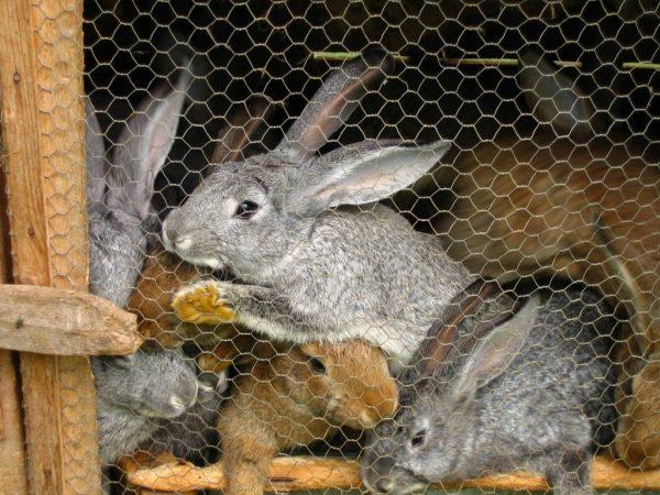 Профессиональные кролиководы под клеткой ставят поддон, и когда животное будет опорожняться, фекалии автоматически попадают в него