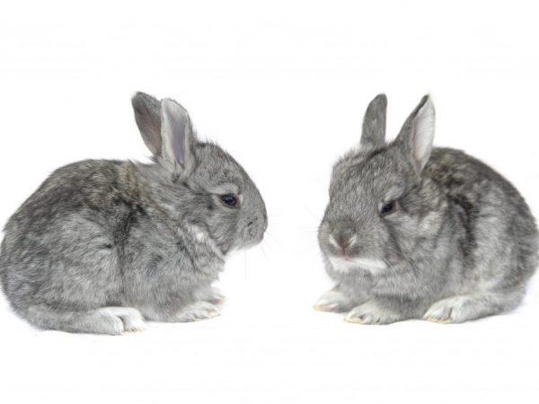 Кролики этой породы имеют спокойный нрав, дружелюбный характер. Они активны, любопытны, игривы. Легко адаптируются к новым условиям проживания