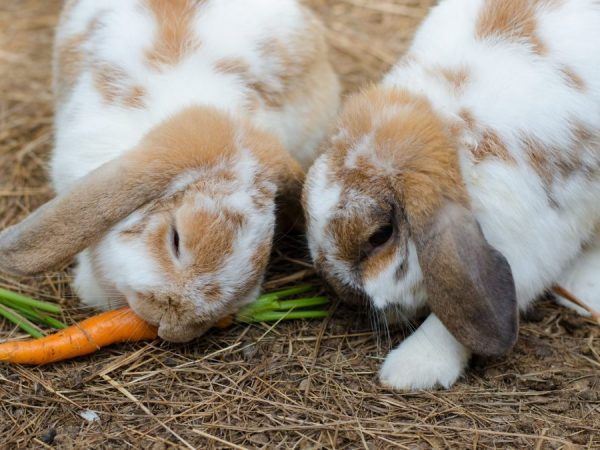 Свежая морковь является предпочтительным ингредиентом питания всех кроликов