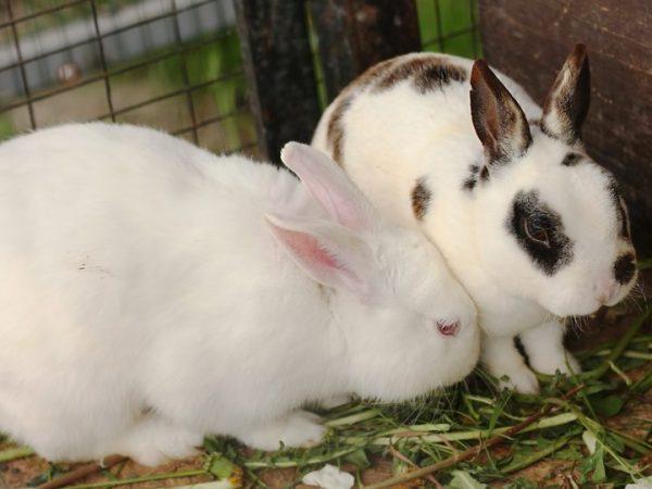 Данный недуг легко может вызвать эпидемию и погубить целое стадо. Заболевших кроликов надо немедленно отсадить от здоровых и продезинфицировать клетки