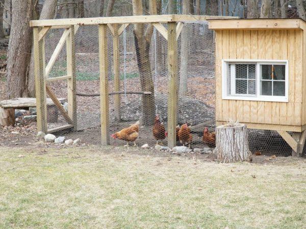 Куры не могут жить только в сарае, для них важны прогулки на свежем воздухе, поэтому при строительстве курятника надо продумать место под выгул