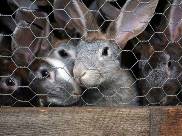 Клетки для них делают как можно проще и удобнее, а их размеры зависят от планируемого количества кроликов и их пород