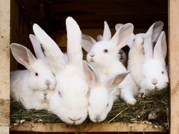 Размножение кроликов очень стремительное. Крольчата рождаются беспомощными и абсолютно голыми. Уход за ними должен быть бережным и осторожным