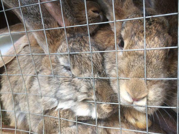 Если кролик не может лечь, вытянуться во весь рост, т.к. ему мало место в клетке, он может стать агрессивным
