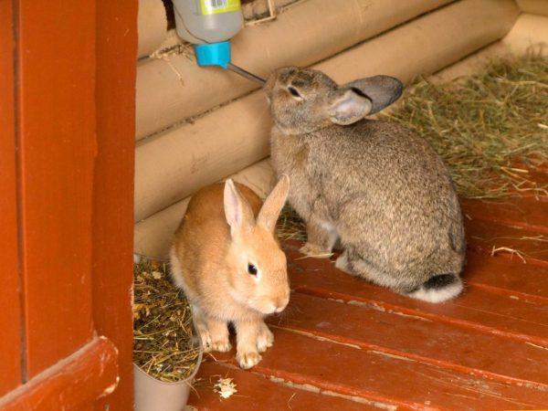 Кролики нуждаются в большом количестве чистой воды и если её наливать в миску, не закреплённой на определённой высоте в неё будет постоянно попадать мусор