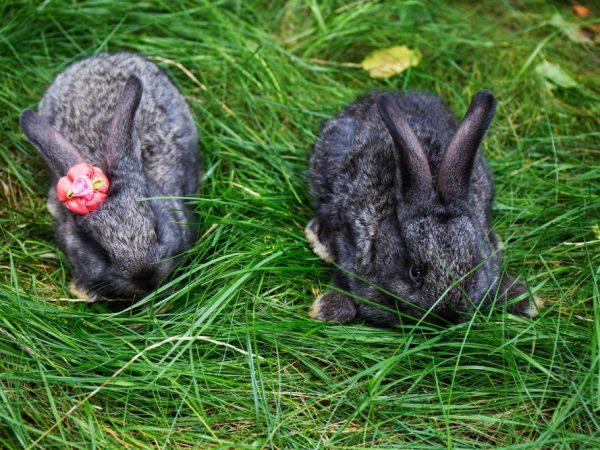 Кролики предпочитают свободу, в закрытых помещениях у особей резко снижается продуктивность