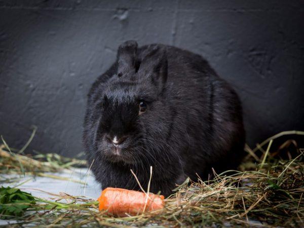 Необходимо регулярно осматривать беременную крольчиху на предмет наличия мастита. При первых же его признаках нужно незамедлительно начать лечение