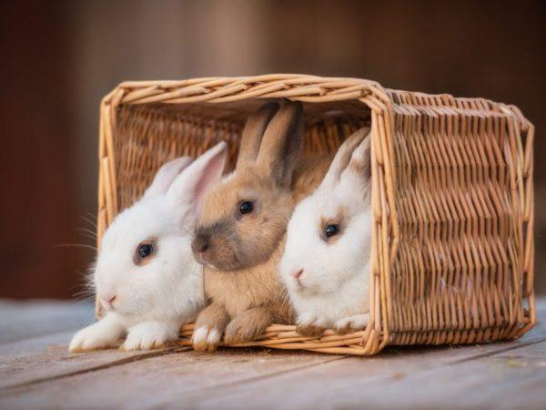 Карликовые кролики имеют вес от 1,5 до 2,5 кг, различающиеся по форме головы и туловища, длине ушей и густоте шерсти. Их цель – доставлять удовольствие хозяевам своим внешним видом, ласковым характером и игривостью