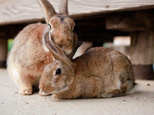 Сурфагон – ветеринарный препарат, широко применяется для стимуляции полового возбуждения самок при осеменении