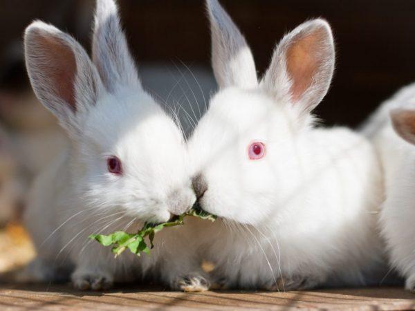 Кроликам необходимы свежие корнеплоды. Они любят очищенный картофель, репу, морковь