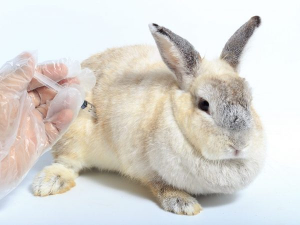 Суспензию необходимо тщательно взболтать перед введением. Дозы для однократного введения 1 мг на каждого кролику одинаковы