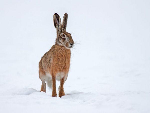Интересные факты о зайце-русаке