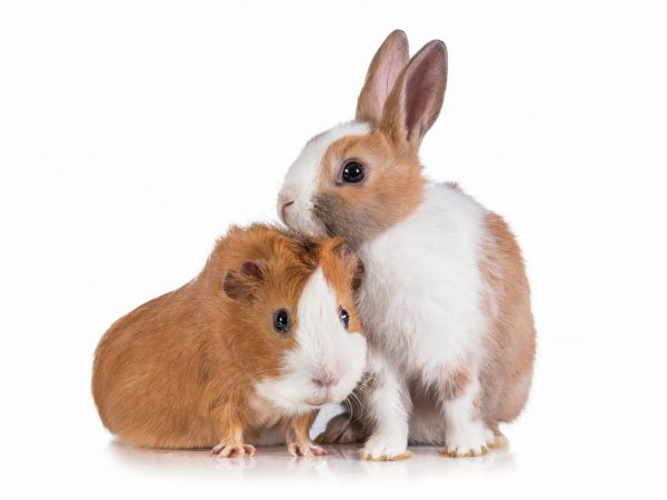 Даже кролики могут быть ручными