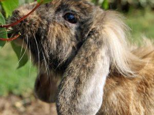 Листья в рационе кроликов