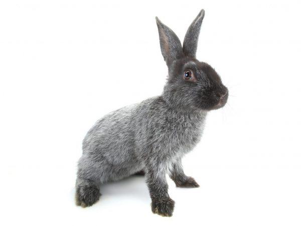 Характеристика породы кроликов полтавское серебро