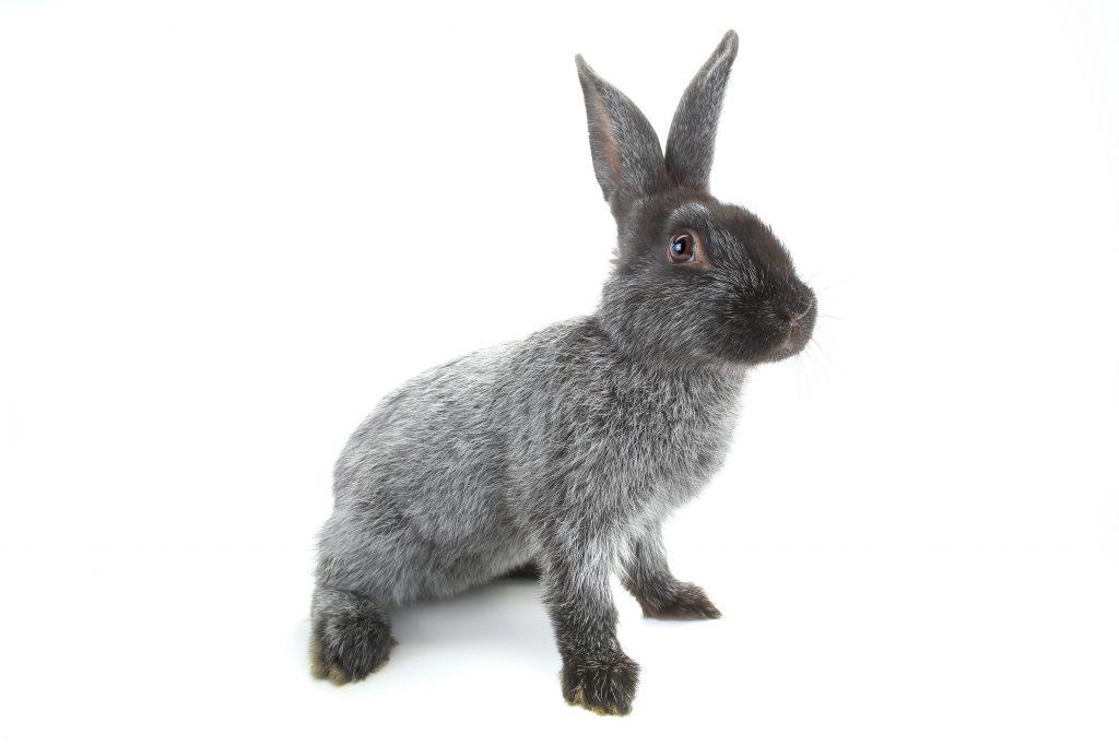 Полтавский серебристый кролик описание породы