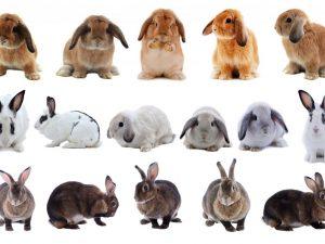Способы скрещивания кроликов
