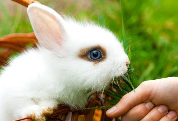 Кормление маленьких крольчат