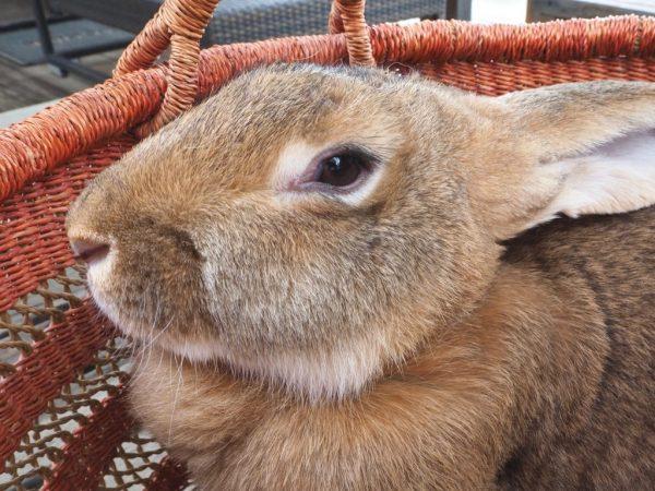 Длительность беременности у кроликов